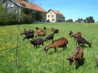 Fromage de lait de chèvres