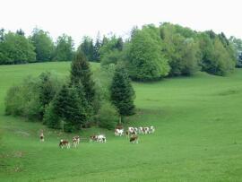 Vache dans les champs
